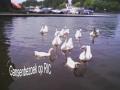 Bezoek van ganzen